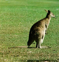 Kangaroo08-Standing on grass-RearView.jpg
