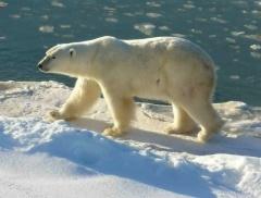 Celestial Polar Bear 35e Creature Dd Wiki