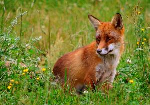 Fox, Red (3 5e Creature) - D&D Wiki